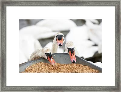Wild Mute Swans Pinching Grain Framed Print by Ashley Cooper