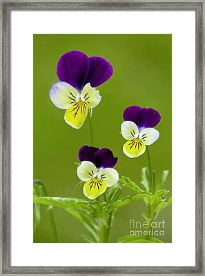 Wild Pansy Viola Tricolor Framed Print by Bob Gibbons