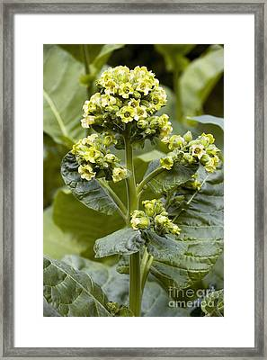 Wild Tobacco Nicotiana Rustica Flowers Framed Print by Bob Gibbons