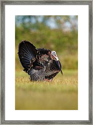 Wild Turkey (meleagris Gallopavo Framed Print