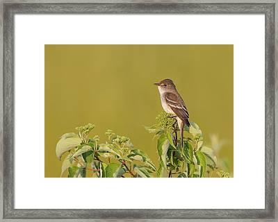 Willow Flycatcher Framed Print