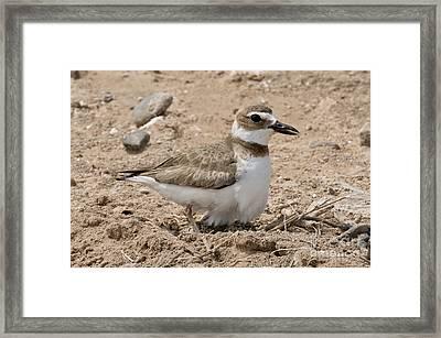 Wilsons Plover At Nest Framed Print by Anthony Mercieca