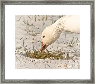 Wintering Snow Goose Framed Print by Robert Frederick