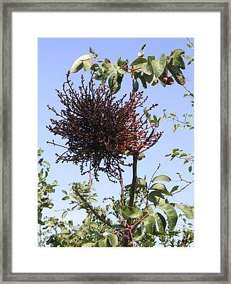 Witches Broom Gall Framed Print by Martyn F. Chillmaid