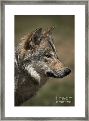 Wolf-animals-image 2 Framed Print by Wildlife Fine Art