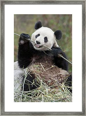 Wolong Reserve, China, Giant Panda Framed Print by Alice Garland