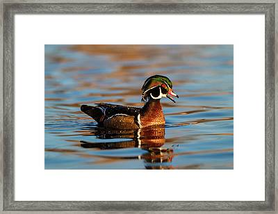 Wood Ducks (aix Sponsa Framed Print by Larry Ditto
