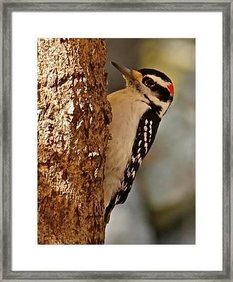 Woodpecker 109 Framed Print by Patsy Pratt