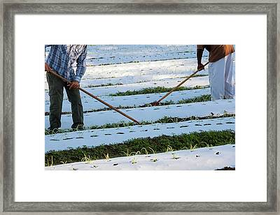Workers On An Organic Farm Framed Print by Jim West