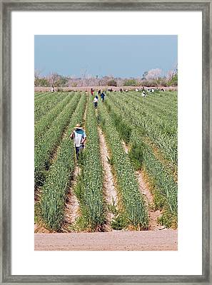 Workers Tending Crops Framed Print by Jim West