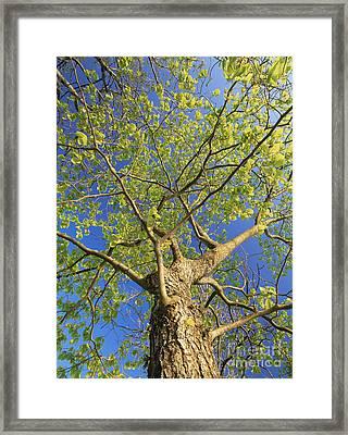 Wych Elm Tree Ulmus Glabra Framed Print by Bjorn Svensson