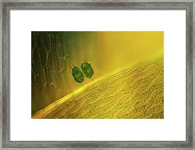 Xanthidium Desmid Framed Print