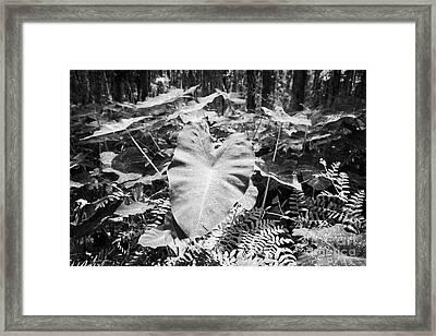Xanthsoma Elephant Ear Plant Growing In Flooded Wetlands In Florida Usa Framed Print by Joe Fox