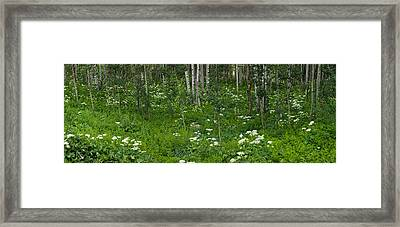 Yarrow And Aspen Trees Along Gothic Framed Print by Panoramic Images