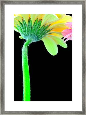 Yellow And Pink Daisy  Framed Print