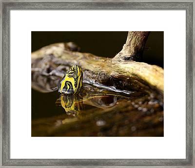 Yellow-bellied Slider Framed Print