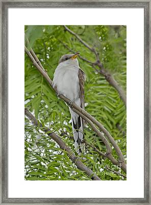 Yellow-billed Cuckoo Framed Print