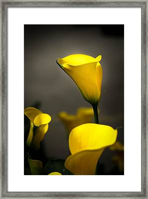 Yellow Calla Lilies Framed Print by Menachem Ganon