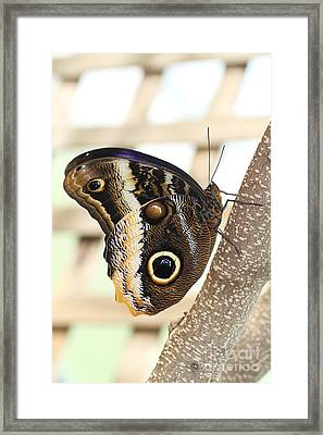 Yellow-edged Giant Owl Butterfly #4 Framed Print by Judy Whitton