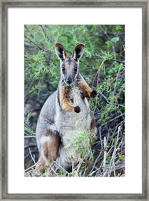 Yellow-footed Rock-wallaby (petrogale Framed Print by Martin Zwick