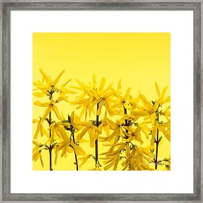 Yellow Forsythia Flowers Framed Print by Elena Elisseeva