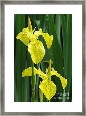 Yellow Iris Framed Print by Frank Townsley