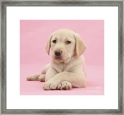 Yellow Labrador Retriever Framed Print by Mark Taylor