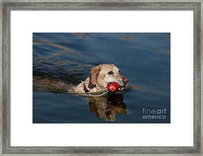 Yellow Labrador Retriever, Retrieving Framed Print by William H. Mullins