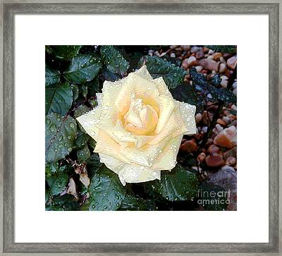Yellow Rose At Dawn Framed Print by Alys Caviness-Gober
