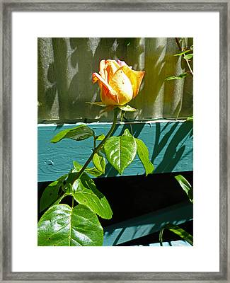 Yellow Rose  Framed Print by Gracia  Molloy