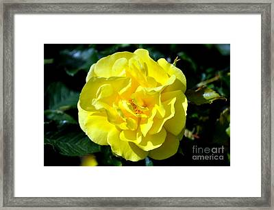 Yellow Rose Framed Print by Mandy Judson