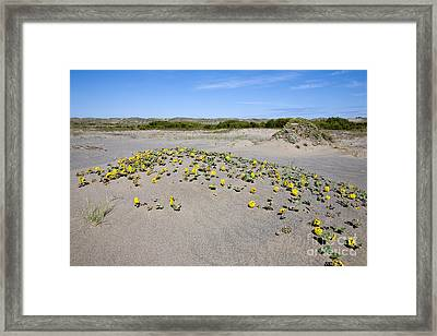 Yellow Sand Verbena Framed Print