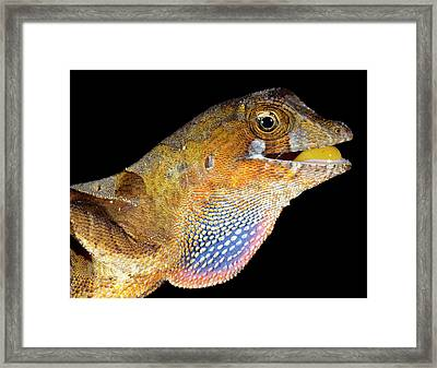 Yellow-tongued Anole Displaying Dewlap Framed Print