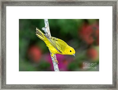Yellow Warbler Dendroica Petechia Framed Print