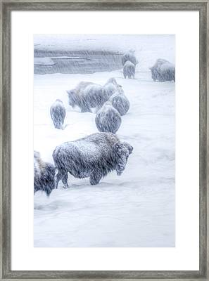 Yellowstone Bison Framed Print by David Yack