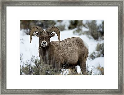Yellowstone Ram Framed Print