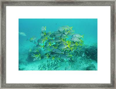 Yellowtail Grunt (anisotremus Framed Print by Pete Oxford