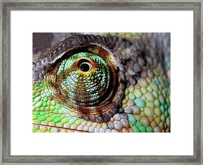Yemen Or Veiled Chameleon Framed Print by Nigel Downer