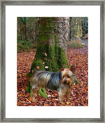 Yorkie Pose Framed Print by Rick Friedle