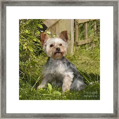 Yorkshire Terrier Dog Framed Print by John Daniels