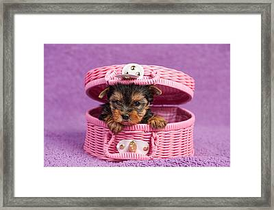 Yorkshire Terrier Puppy Framed Print by Marta Holka
