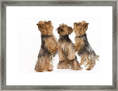 Yorkshire Terriers Framed Print