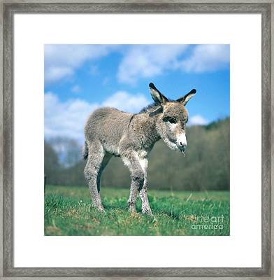 Young Donkey Framed Print