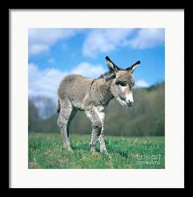 Jackass Foal Framed Prints