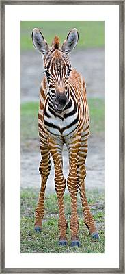 Young Zebra Standing In A Field Framed Print by Panoramic Images