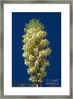 Yucca In Bloom Framed Print by Jane Axman