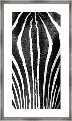 Zebra Face Framed Print by Paul Miller