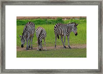Zebra Family Framed Print