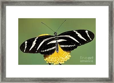 Zebra Longwing Butterfly Framed Print by Millard H. Sharp