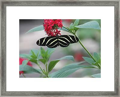 Zebra Longwing Butterfly Framed Print by Rosalie Scanlon